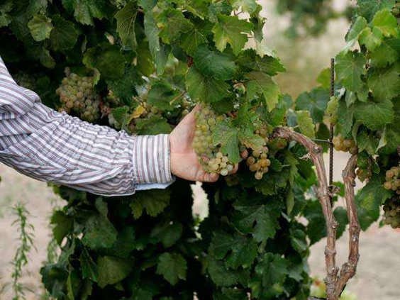 209-Grape-Harvest-1-SIDE