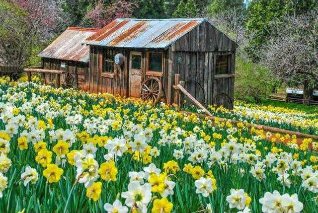 daffodil-hill teaser