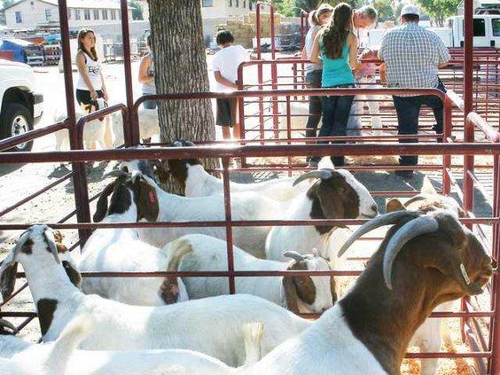 pic fair-sheep-1a