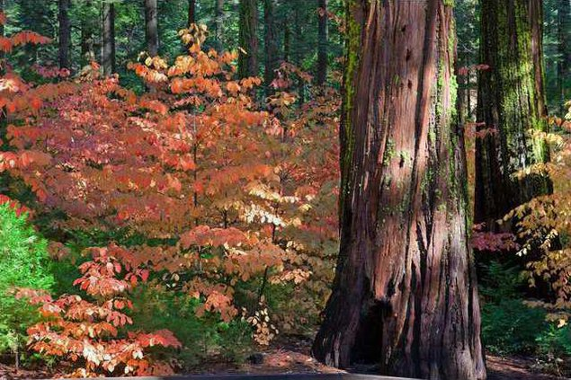 Big Trees Fall Color Bob Chickering2 preview