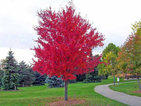 red-maple-tree-1106613001860497SS