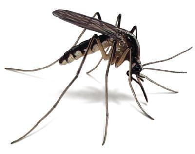 Mosquitoes carrying Zika virus on way to SJ County - Manteca Bulletin